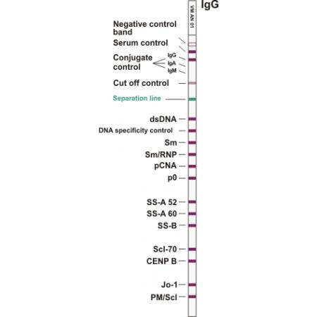 ANA ViraStripe IgG (detection of serum antibodies agains dsDNA, Sm, Sm/RNP, PCNA, P0, SS-A 52, SS-A 60(Ro), SS-R (La), Scl-70, CFNP R, Jo-1, PM/Scl)